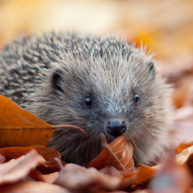 Family Event - Meet a Hedgehog, Norfolk Wildlife Trust Cley Marshes | Join Marian Grimes from Hedgehog Haven (North Norfolk) and her prickly friends  | Family, hedgehogs, endangered